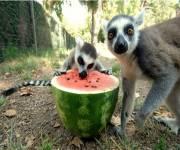 bioparco-roma_pasto_lemuri