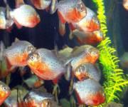 acquario-cala-gonone-piranha